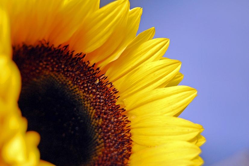 Um gira-sol voltado para a luz: tal como o sol, o Reiki ilumina e nutre | Foto: SAHMlovingit/Creative Commons