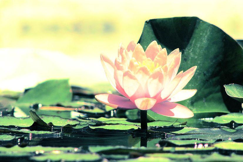 Como uma flor de lótus voltada para o sol: o Reiki ajuda-nos a descobrir a sabedoria | Foto: Ignacio/Creative Commons