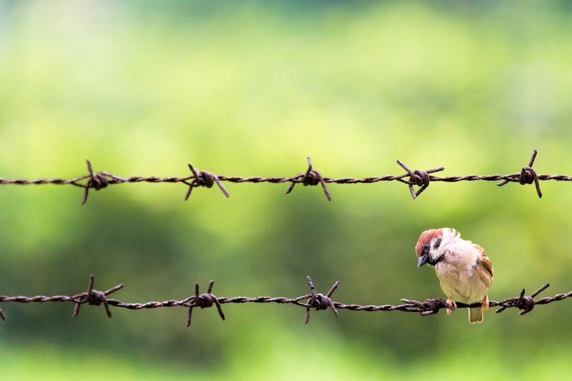 Um pardal pousado num arame farpado: o que nos assusta nem sempre é perigoso | Foto: See-ming Lee/Creative Commons